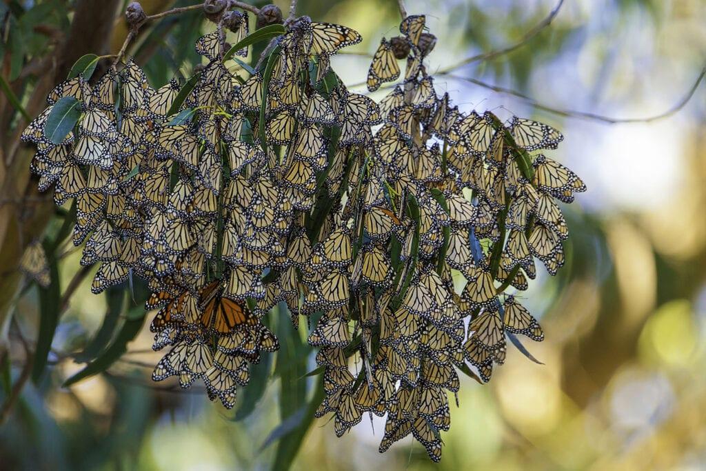 Monarch butterflies at Natural Bridges State Beach