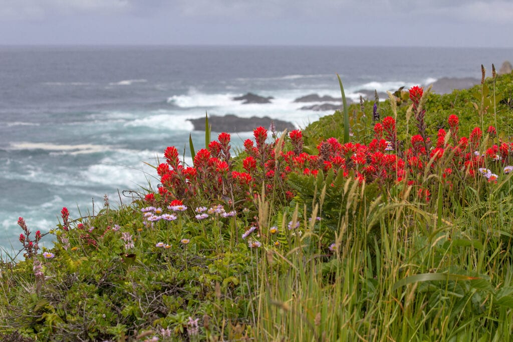 Indian Paintbrush on the Mendocino coast
